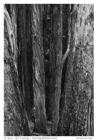 Eucalyptus tree trunks, Hosmer Grove. Haleakala National Park (black and white)