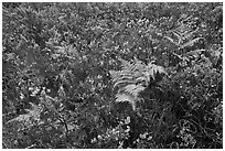 Native ferns and shrubs. Haleakala National Park, Hawaii, USA. (black and white)