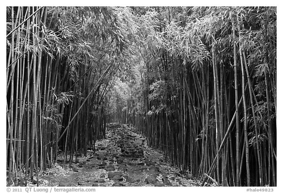 Trail through bamboo canopy. Haleakala National Park (black and white)