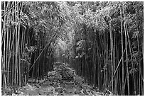 Trail through bamboo canopy. Haleakala National Park ( black and white)