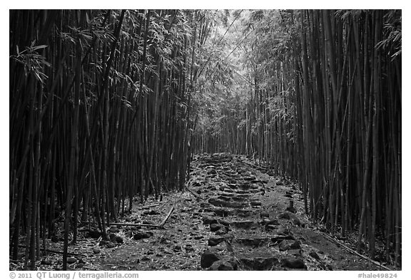 Black And White Picturephoto Bamboo Trail Through Bamboo Forest