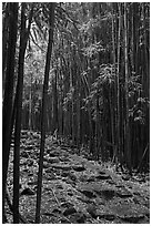 Bamboo lined path - Pipiwai Trail. Haleakala National Park, Hawaii, USA. (black and white)