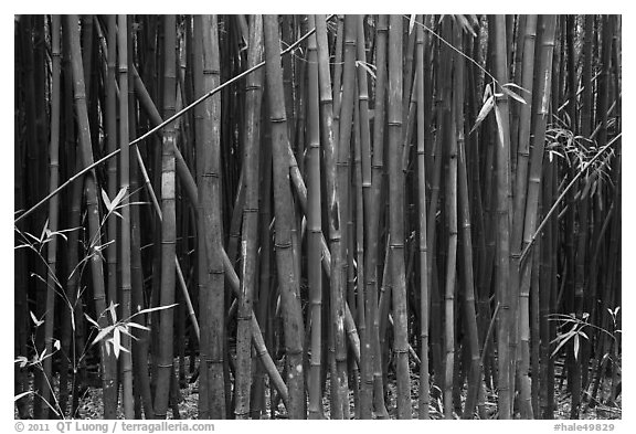 Dense Bamboo forest. Haleakala National Park, Hawaii, USA.
