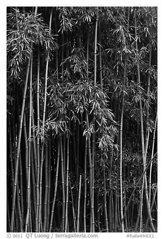 Thick Bamboo forest. Haleakala National Park (black and white)