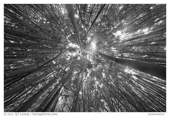 Looking up bamboo forest. Haleakala National Park (black and white)