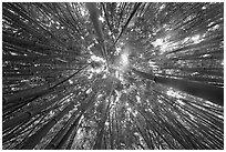 Looking up bamboo forest. Haleakala National Park ( black and white)