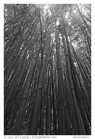 Looking up dense bamboo grove. Haleakala National Park (black and white)