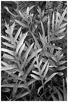 Maile-Scented Fern (Phymatosorus scolopendria). Haleakala National Park, Hawaii, USA. (black and white)