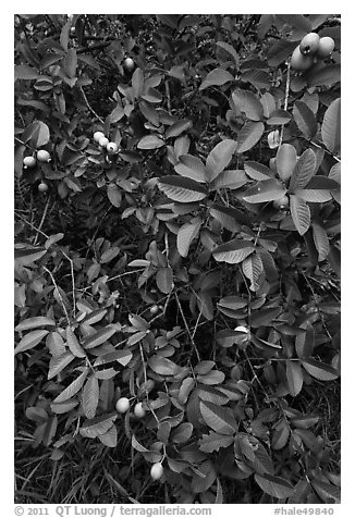 Guava tree with fruits. Haleakala National Park (black and white)