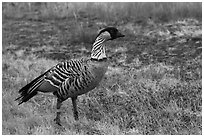 Hawaiian Goose (Nene). Haleakala National Park, Hawaii, USA. (black and white)