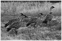 Hawaiian geese (Branta sandvicensis). Haleakala National Park, Hawaii, USA. (black and white)