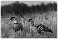 Nene geese. Haleakala National Park, Hawaii, USA. (black and white)