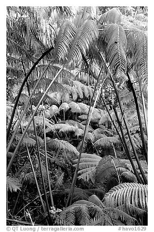 Lush tropical ferms near Thurston lava tube. Hawaii Volcanoes National Park (black and white)