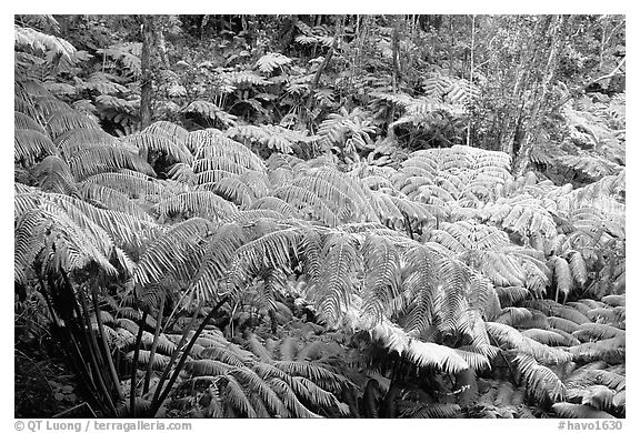Lush tall ferms near Thurston lava tube. Hawaii Volcanoes National Park (black and white)