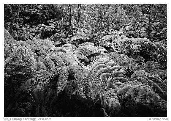 Giant tropical ferns. Hawaii Volcanoes National Park (black and white)