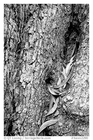 Koa tree leaves and bark detail. Hawaii Volcanoes National Park (black and white)