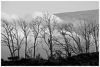 Trees silhouetted against fog at sunrise. Hawaii Volcanoes National Park, Hawaii, USA. (black and white)