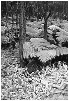 Hawaiian rain forest ferns and trees. Hawaii Volcanoes National Park, Hawaii, USA. (black and white)