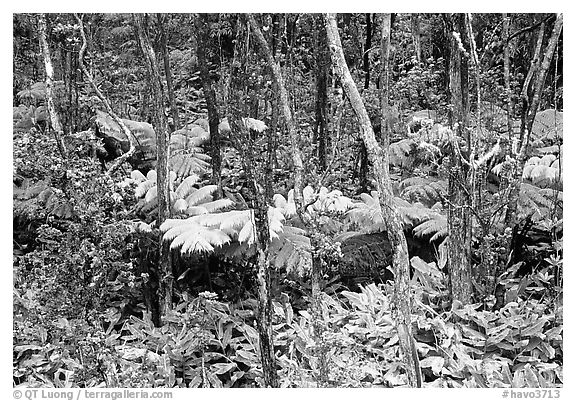Native Rainforest. Hawaii Volcanoes National Park (black and white)