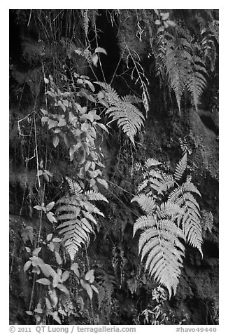 Ferns on cave wall. Hawaii Volcanoes National Park (black and white)