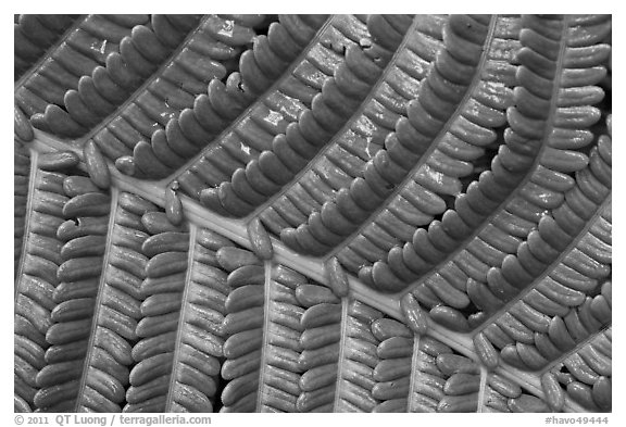 Fern leaf close-up. Hawaii Volcanoes National Park (black and white)