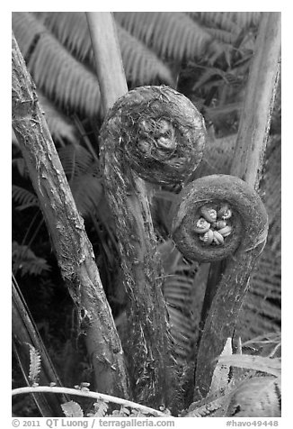 Hapuu Ferns with pulu hair. Hawaii Volcanoes National Park (black and white)