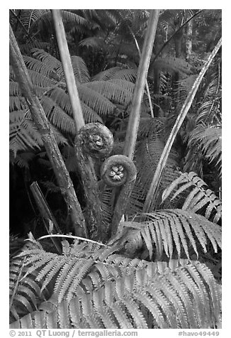 Crozier of the Hapuu tree ferns. Hawaii Volcanoes National Park (black and white)
