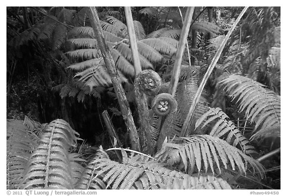 Hapuu tree ferns with crozier fronds. Hawaii Volcanoes National Park (black and white)