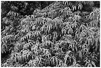 Tropical Ferns (Dicranopteris linearis) on slope. Hawaii Volcanoes National Park, Hawaii, USA. (black and white)
