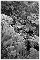 Tree fern canopy in rain forest. Hawaii Volcanoes National Park, Hawaii, USA. (black and white)