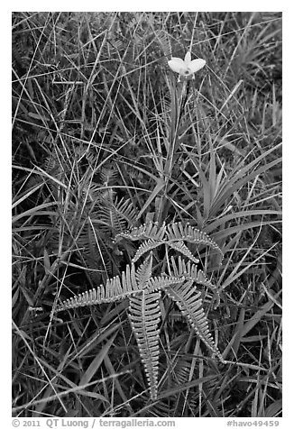 Fern and bamboo orchid (Arundina graminifolia). Hawaii Volcanoes National Park (black and white)