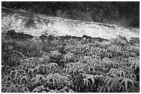 Uluhe ferns and sulphur bank. Hawaii Volcanoes National Park, Hawaii, USA. (black and white)