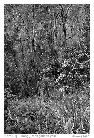 Fern and trees in Kookoolau crater. Hawaii Volcanoes National Park (black and white)