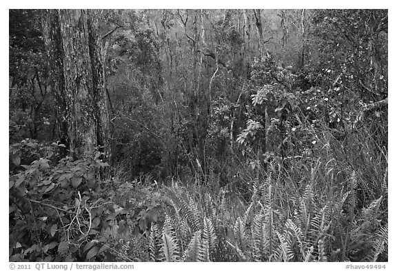 Kookoolau crater invaded by vegetation. Hawaii Volcanoes National Park (black and white)