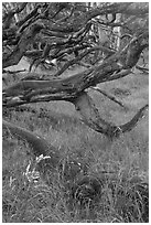 Koa trees. Hawaii Volcanoes National Park, Hawaii, USA. (black and white)