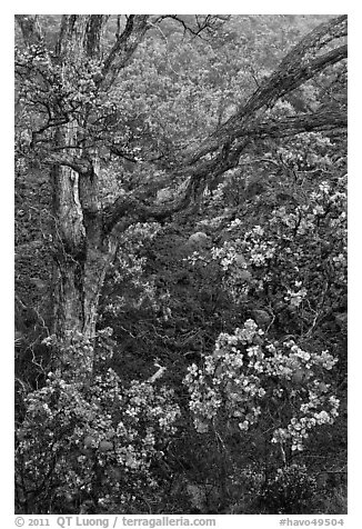 Ohia flowers and tree. Hawaii Volcanoes National Park (black and white)