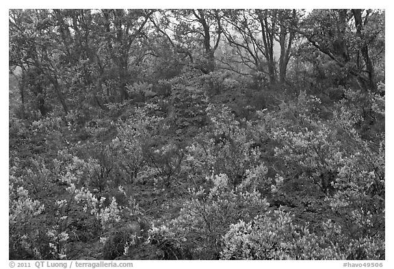 Shrub and trees growing over aa lava. Hawaii Volcanoes National Park (black and white)