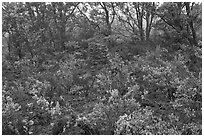 Shrub and trees growing over aa lava. Hawaii Volcanoes National Park ( black and white)