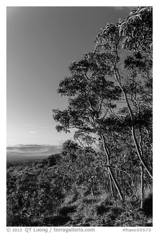 Acacia Koa trees at sunrise. Hawaii Volcanoes National Park (black and white)