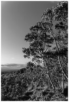 Acacia Koa trees at sunrise. Hawaii Volcanoes National Park, Hawaii, USA. (black and white)