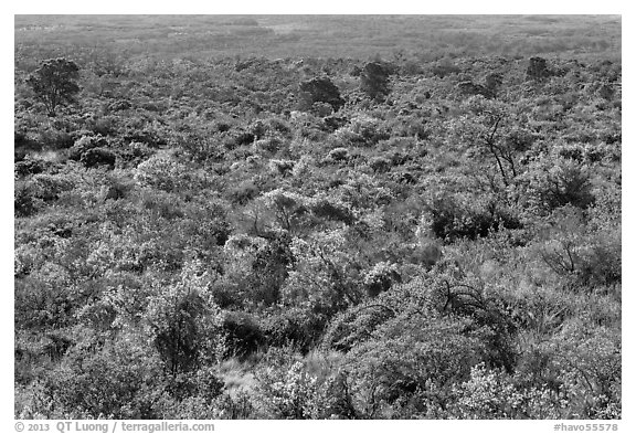 Forest on Mauna Loa slopes. Hawaii Volcanoes National Park (black and white)