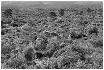Forest on Mauna Loa slopes. Hawaii Volcanoes National Park, Hawaii, USA. (black and white)