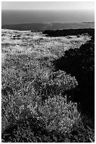 Grass patch bordering barren aa lava flow. Hawaii Volcanoes National Park, Hawaii, USA. (black and white)