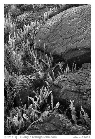 Ferns growing in cracks of lava rock. Hawaii Volcanoes National Park (black and white)