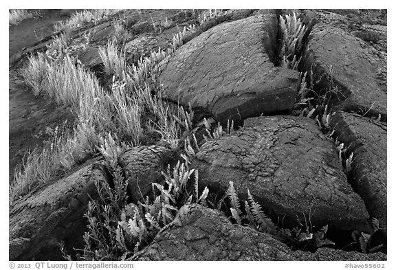 Cracked lava rocks and ferns at sunset. Hawaii Volcanoes National Park (black and white)