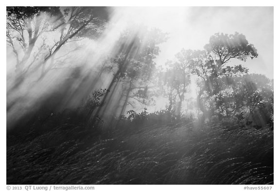 Grasses, trees, and sunrays. Hawaii Volcanoes National Park (black and white)