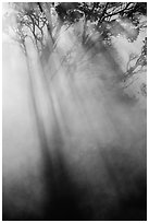 Sunrays and trees in steam. Hawaii Volcanoes National Park, Hawaii, USA. (black and white)
