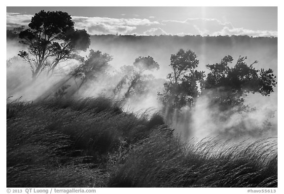 Grasses and trees, Steaming Bluff. Hawaii Volcanoes National Park (black and white)