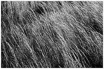 Grasses blowing in wind. Hawaii Volcanoes National Park, Hawaii, USA. (black and white)