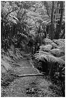Giant ferns bordering Kīlauea Iki Trail. Hawaii Volcanoes National Park ( black and white)